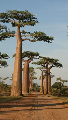 Les grands baobabs
