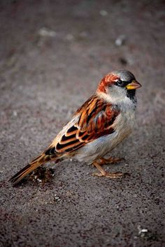 Sparrow, once a common British bird but now scarce in some areas, so put food out for them in the Winter!