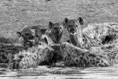 """Feeding frenzy"" in Etosha National Park, Namibia ©Ed Aylmer"