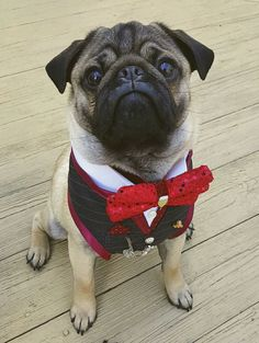 Social Pug Profile | Nigel the Pug http://www.thepugdiary.com/social-pug-profile-nigel-the-pug/