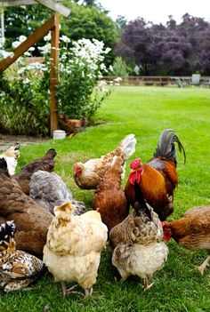 chickens :: I definitely want three when we have a bigger backyard and no neighbors!
