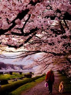 Sakura blossoms...