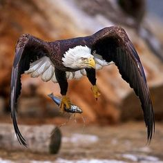 Eagle  Photo by ©Buck Shreck