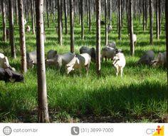 Implantação do Sistema de Integração Lavoura-Pecuária-Floresta #cursoscpt