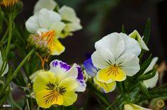 Viola Tricolor  by alma_vzla