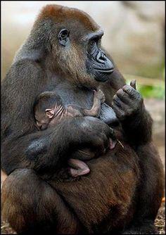 Gorilas Love them and the wonderful picture. Zoo Animals, Cute Baby Animals, Animals And Pets, Funny Animals, Strange Animals, Small Animals, Primates, Mammals, Mundo Animal