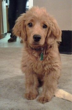A golden cocker retriever! Fully grown!! In other words is a puppy its whole life