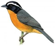 Slaty-backed Hemispingus (Hemispingus goeringi) is characterized by its slaty upperparts with a black crown, cheeks and throat, white supercilium, and cinnamon-rufous underparts.