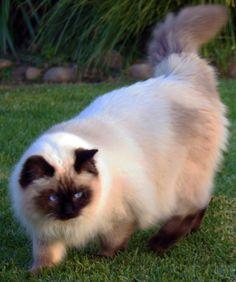 Ravera Ragdoll Cats, Kittens - Australian Registered Breeders ...