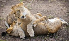 Young lions playing, Zambia. Photo by Marie-Soleil Le Houillier