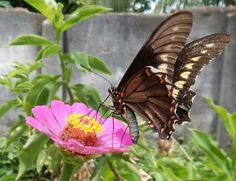 As Zenias do meu jardim atraem muitas borboletas. Zenias attract many butterflies in my garden.  © Ricky Seabra Photography./chapada do Araripe #chapadadoararipe #borboletas #nature #pink