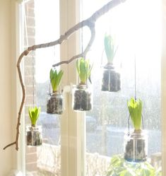 Neulich waren die Gläser noch ein Tannenbaum, jetzt dürfen meine Hyazinthen drin wachsen. Ich habe einfach die Bänder um einen Ast gewickelt und ans Fenster gehängt. Der Frühling kann kommen.