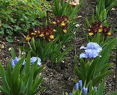 Although the Bearded Iris bloom but a few short weeks each year, there are small tasks you can do year-round in your garden to ensure that the glorious bloom season will be the very best it can be. See below for month by month recommendations for Iris garden care.
