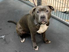 RTO SAFE - 02/26/15 --- Brooklyn Center  BLUE aka PHILLY - A1026089  MALE, GR BRINDLE / WHITE, AM PIT BULL TER MIX, 1 yr STRAY - STRAY WAIT, HOLD FOR RTO Reason STRAY  Intake condition EXAM REQ Intake Date 01/22/2015  :  https://www.facebook.com/photo.php?fbid=958239914188888