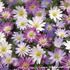 244 best purple garden images on pinterest in 2018 purple garden these small hardy plants provide unique ground cover or garden accents for many years mightylinksfo