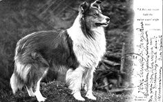 . Rough Collie, Collie Dog, Scotch Collie, Farm Dogs, Kinds Of Dogs, Sheltie, Animals Beautiful, Puppy Love, Best Dogs