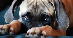 Canines evolved puppy dog eyes to woo human companions All Dogs, Dogs And Puppies, Dog Test, Puppy Dog Eyes, Pet Puppy, Cute Dog Photos, Aggressive Dog, Dog Behavior, Dog Houses