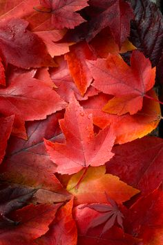 Maple leaves in red autumn colors