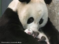 Did you know? Panda females will 'chirp' a specific way to indicate that they're ready to breed.