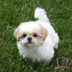 The many things we all love about the Playfull Shih Tzu Puppies Shitzu Puppies, Cute Puppies, Cute Dogs, Dogs And Puppies, Retriever Puppies, Doggies, Labrador Retriever, Chien Shih Tzu, Shih Tzu Puppy