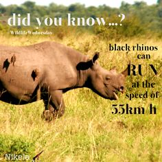 Did you know that black rhinos can run at the speed of per hour? These non-black creatures are faster than their fellow white rhinos! Can Run, Rhinos, Hippopotamus, Endangered Species, Knowing You, Wildlife, Creatures, African, Running