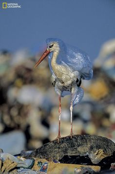 This is a picture of a stork stuck in a plastic bag taken by National Geographic, another reflection of the rise in pollution in the world. Environmental Pollution, Ocean Pollution, Plastic Pollution, Environmental Issues, National Geographic Cover, Angst Quotes, Plastic Problems, Amazing Animals, Save Our Earth