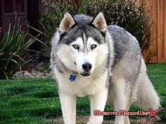 SIBERIAN HUSKY WOLF MIX | prince siberian husky wolf hybrid one year old male