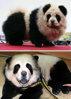 the dog called Colombo was abandoned because of it's ugly look but became famous when his new owner decided to beautify him, he used safe dye to make him into a panda look-alike, he was all white, the owner simply dyed the black using a  safe non toxic hair dye