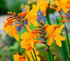 Welche Blumen Blühen Im September besenheide calluna vulgaris heidekraut pflanzen blumen