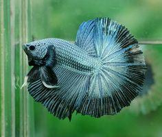 Steel Blue Dragon w/ dragonflyedge HM Male