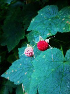 Raspberry | Kate Donaldson