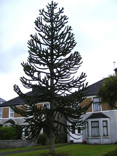 Outdoor Front Tall Monkey Puzzle Tree Long Lasting Monkey Puzzle Trees Check more at http://www.wearefound.com/long-lasting-monkey-puzzle-trees/