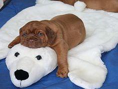 Dogue de Bordeaux puppy on his polar bear mat. So adorable.