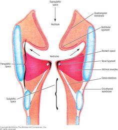 anterior commissure tendon - Google 검색