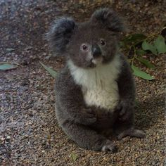 "Adorable""Archer"" the Koala Joey at Featherdale Wildlife Park in Sydney. Photo by Lars Kirchner. Australia.com"
