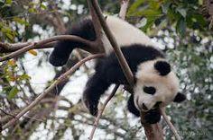 panda sleeping-cutest thing in the world!!!<3