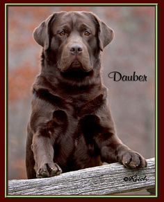 Dauber!  A beautiful Chocolate Lab.