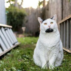 goatee cat