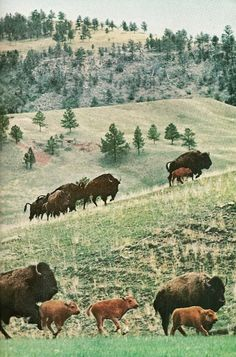Custer State Park, South Dakota (National Geographic | November 1963)