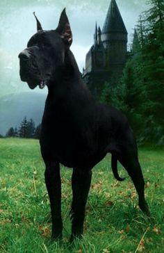 Majestic Black Great Dane