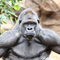 http://ipad.wallpaperswiki.com/wp-content/uploads/2012/10/Tough-Silverback-Gorilla.jpg