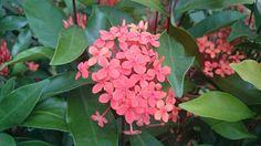 Flor de cañaveral, julio 2014