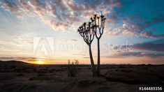 Stock Footage of Linear and pan timelapse of a young silhouette quiver tree at sunrise against a dramatic sky with scattered clouds and sun flare as the landscape light up, with a parallax view available on request. Explore similar videos at Adobe Stock Sun Flare, Quiver, Landscape Lighting, Stock Video, Stock Footage, Light Up, Adobe, Sunrise, Trees