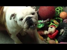 Top 15 English BullDog Funny Videos Ever - Funny BullDog Compilation - YouTube