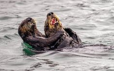 "Comedy Wildlife Photography Awards 2019 ""Sea Otter Tickle Fight"" by Andy Harris Wild Life, Funny Animal Photos, Funny Photos, Funny Animals, Funniest Photos, Animal Pictures, Comedy Wildlife Photography, Photography Awards, Improve Photography"