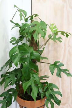 Elm. - Rhaphidophora Tetrasperma - Monstera Minima. Monstera Deliciosa, Indoor Plants, House Plants, Plant Leaves, Things To Come, Inspiration, Gardening, Babies, Deco