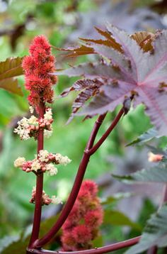 Castor oil plant 'Carmencita'. Beloved by public park displays, it would make an architectural feature in a pot.