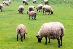 Chov užitečných a odolných ovcí plemene Suffolk - Hospodářská zvířata - www.iReceptar.cz
