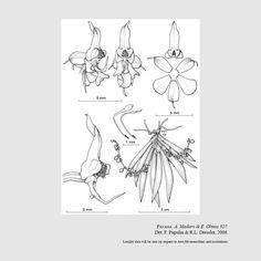 Ornithocephalus aristatus