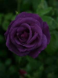 Dark Purple Roses - Bing Images